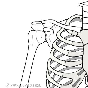 図2.肩周りの骨格の様子
